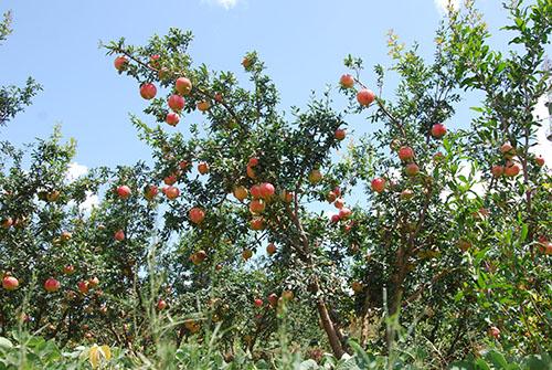 果树 树 水果 植物 500_335